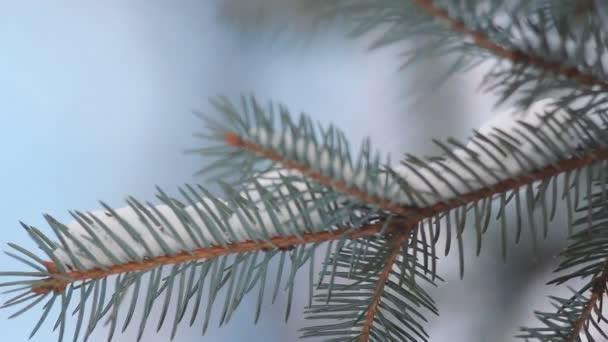 Jehličnatý les v zimě. Větve jehličnatého stromu pokryté sněhem, na pozadí jasně modré oblohy. Vánoční krajiny - zimní les pod sněhem