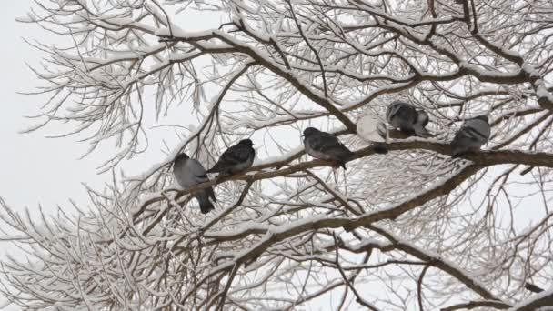 Vögel auf den Ästen eines Baumes in einem Park im Winter. Tauben sitzen auf einem Baum im Winterwald.