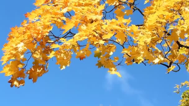 Golden autumn, autumn forest. Maple tree with yellow and orange leaves in the wind in a sunny park.