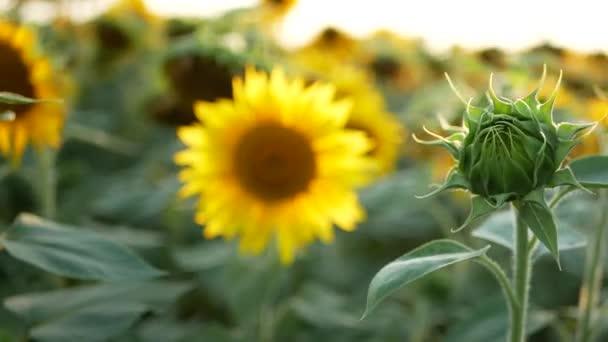Slunečnice na poli v létě, pod jasným sluncem.