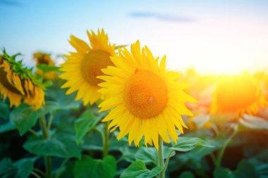 """Картина, постер, плакат, фотообои """"Плантации красивых подсолнухов желто зеленый после захода солнца в сумерках против красивый свет неба с пушистыми облаками"""", артикул 195141962"""