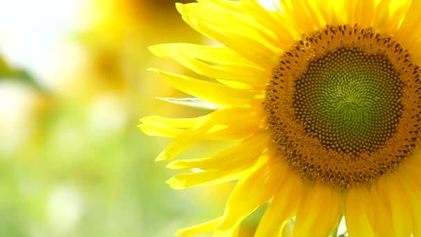 Neotevřené slunečnice dosáhnout k slunci
