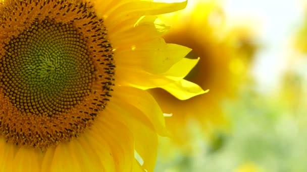 Kvetoucí slunečnice kymácí ve větru