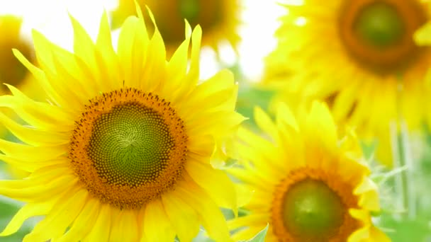 Včela sbírá nektar na slunečnici