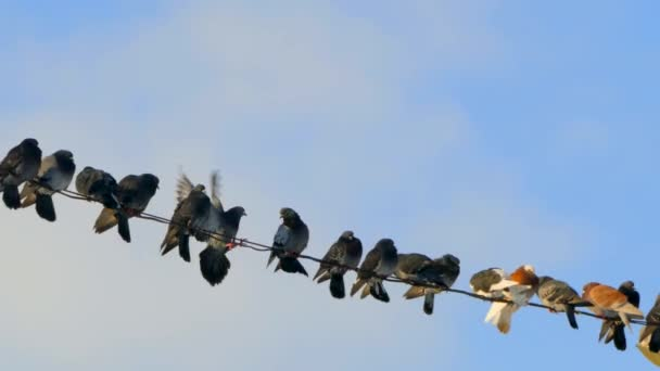 A group of pigeons sitting on wires