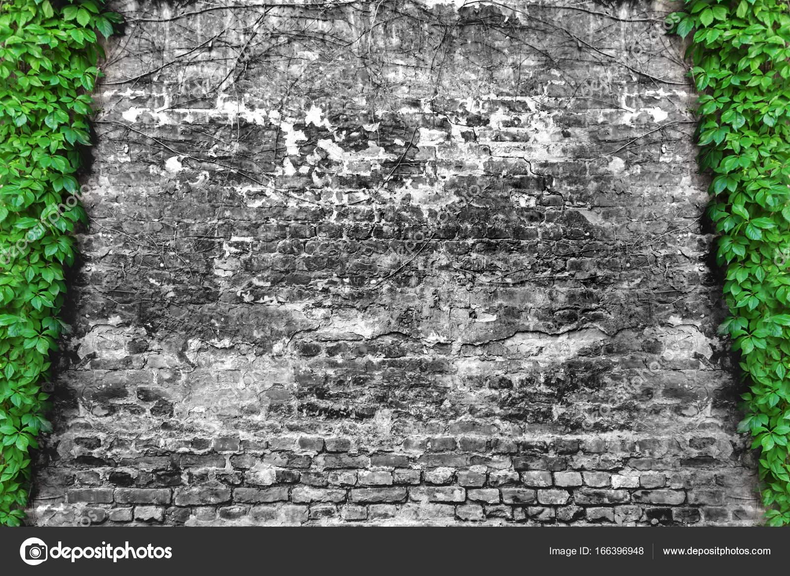 plante grimpante lierre vert et mur de brique b w. Black Bedroom Furniture Sets. Home Design Ideas