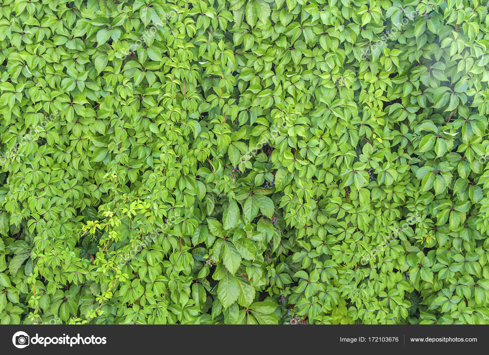 Green Ivy Plant Wall Texture Like Garden Seamless Bush Fence Pattern Stock Photo