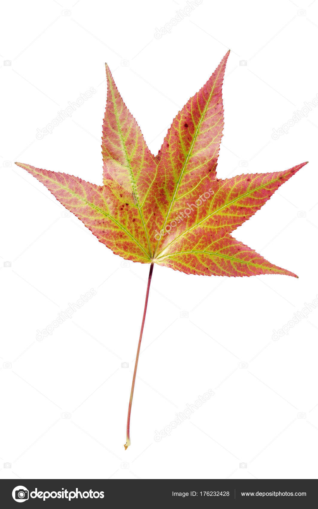 Autumn Big Leaf For Decoration Like Symbol Of Fall Isolated Stock