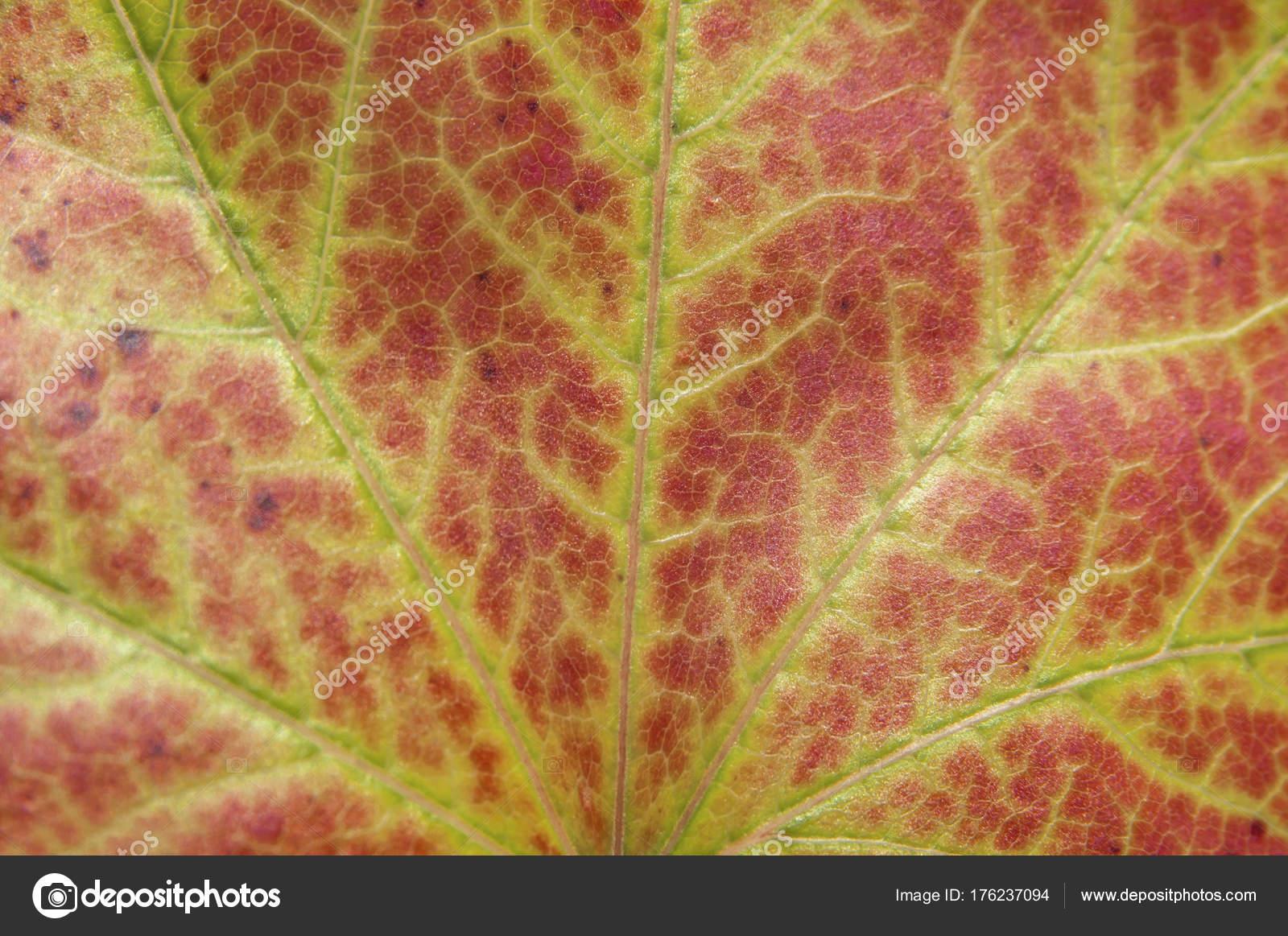 feuille rouge de macro de l'arbre abattu comme écologie végétale