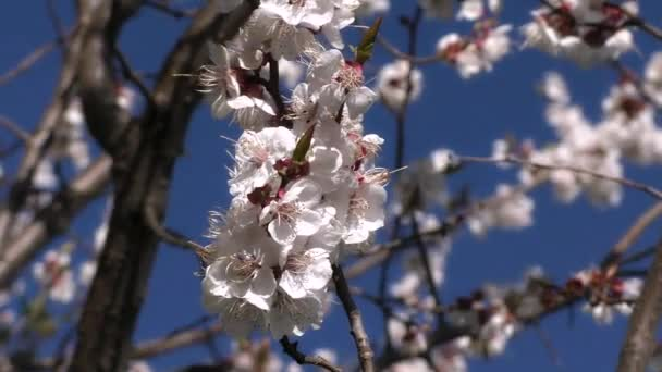 Kvetoucí Meruňka na pozadí modré oblohy