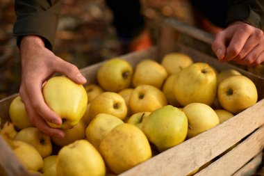 Man puts yellow ripe golden apple to a wooden box of yellow at the orchard farm. Grower harvesting in the garden and holding organic apple in his hand. Harvest autumn concept. Isolated view.