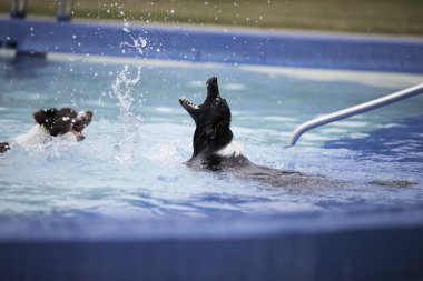 Two Border Collies playing with splatters in swimming pool