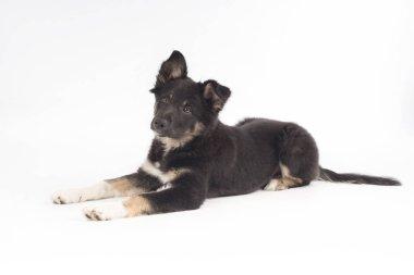 Puppy dog, Border Collie, lying on white background