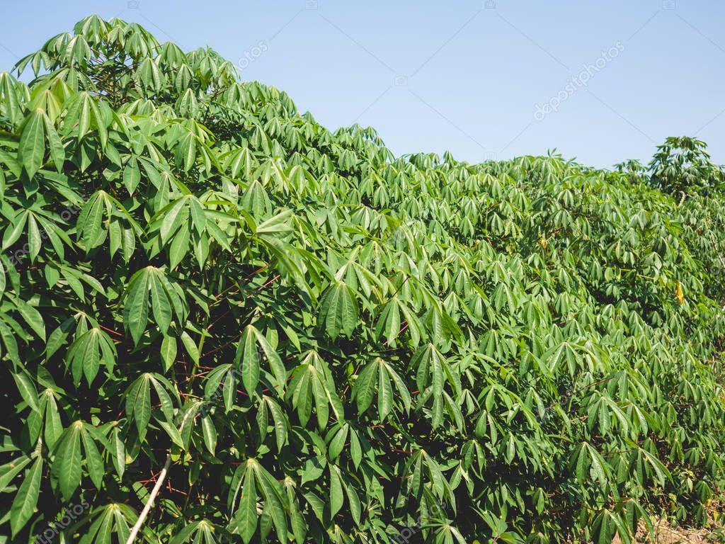 Tapioca or cassava plant.