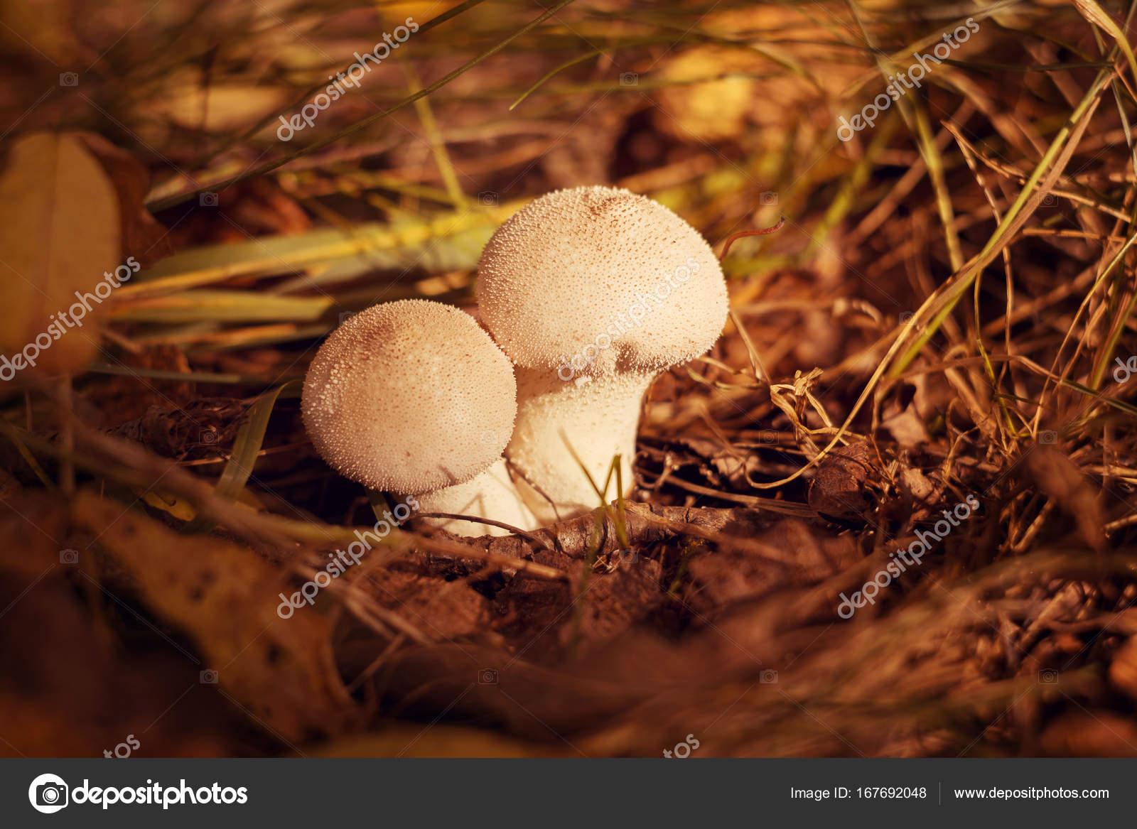 Deux champignons blancs avec des boutons poussent dans la ...