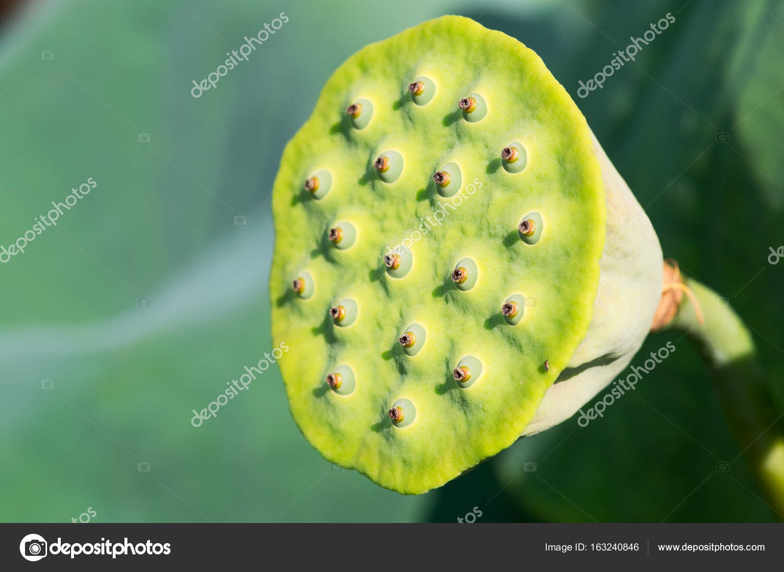 Lotus Seed Pod Close Up On A Green Background Stock Photo