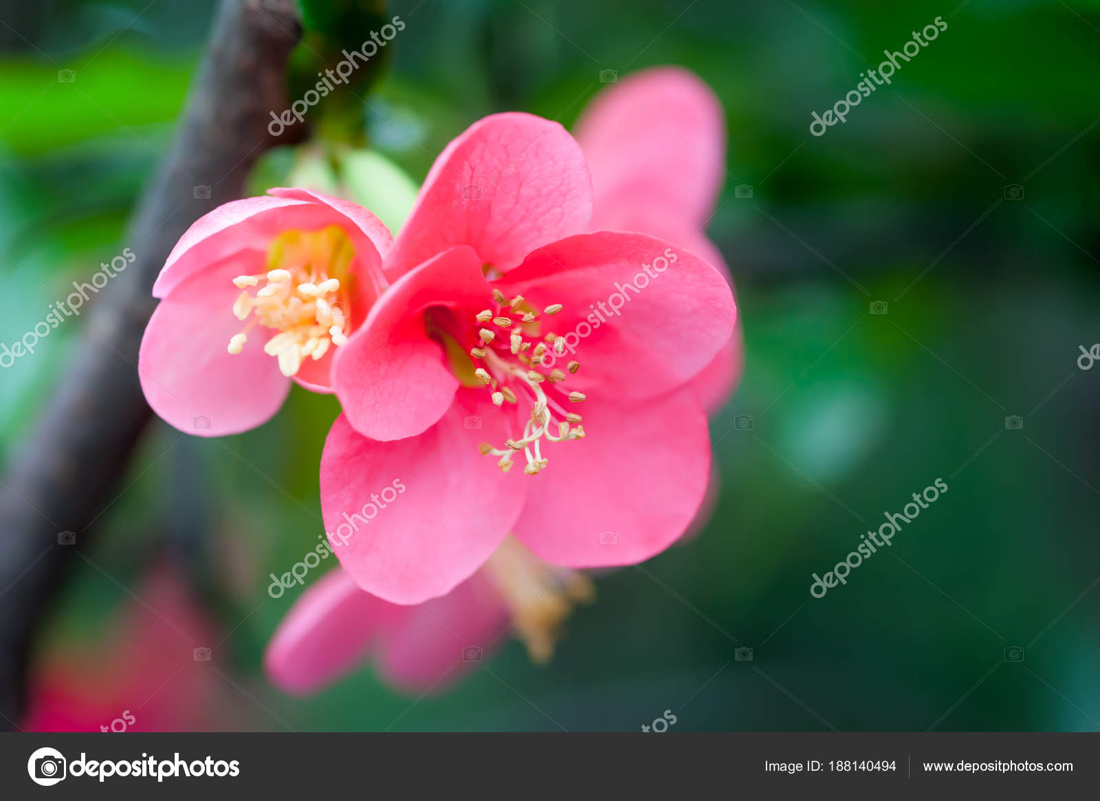 Red Malus Spectabilis Flower Chinese Crabapple Stock Photo