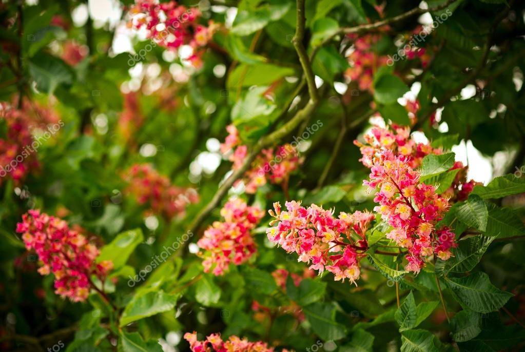 Spring blooming pink chestnut tree flowers nature background spring blooming pink chestnut tree flowers nature background stock photo mightylinksfo Gallery
