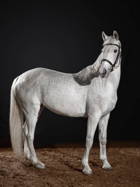 White horse portrait in dressage bridle isolated on dark background