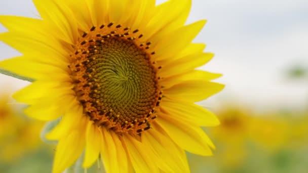 Květ slunečnice close-up na pozadí pole a oblohy. Žlutý květ s krásnou dlouhou lístků.