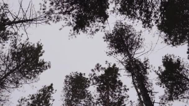 tops of trees in a forest against a cloudy sky. the crowns of trees sway in the wind.