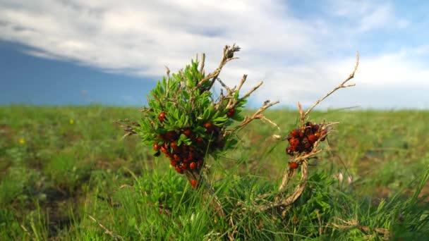 berušky se plazit podél zelené větve v poli. slunečný jarní den