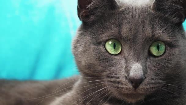 Egy zöld szemű szürke macska fekszik a kanapén, és a makroterv kameráját nézi.
