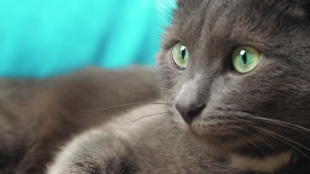 Šedá kočka se těší zblízka na hlavu detailní záběr brokovnice šedá kočka se těší zblízka na hlavu detailní záběr