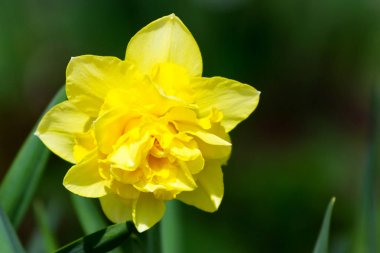 One yellow narcissus at blurred green background in garden at su