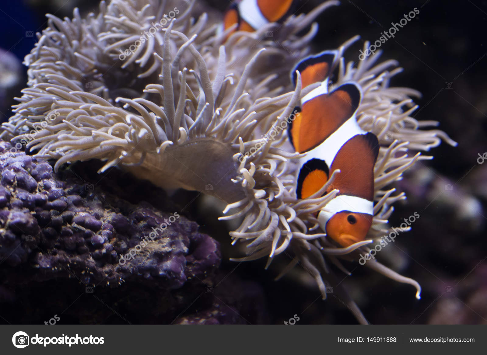 Primo piano del pesce pagliaccio tra alghe e piante d for Immagini pesce pagliaccio