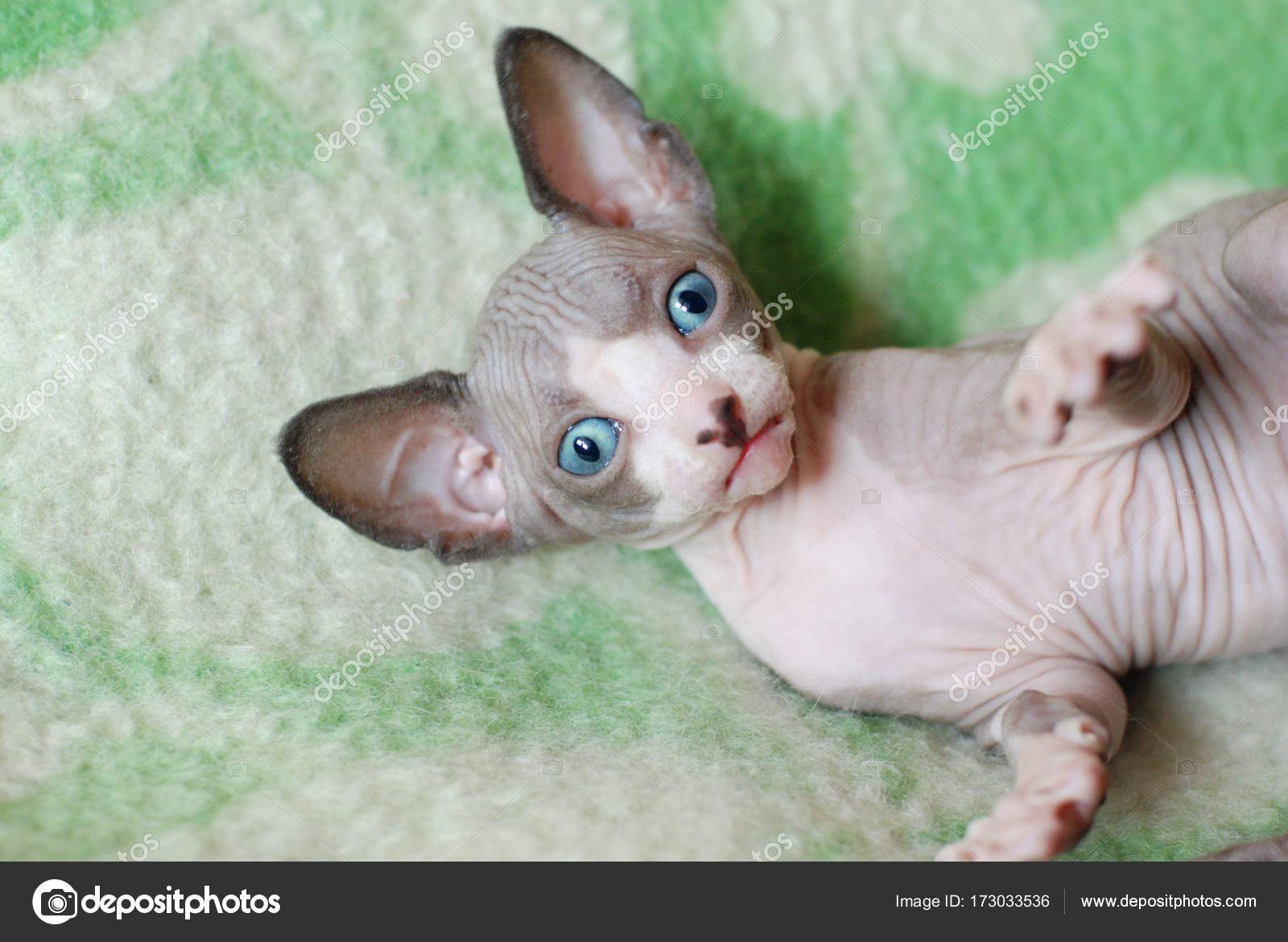 Jeune chauve chatte pic
