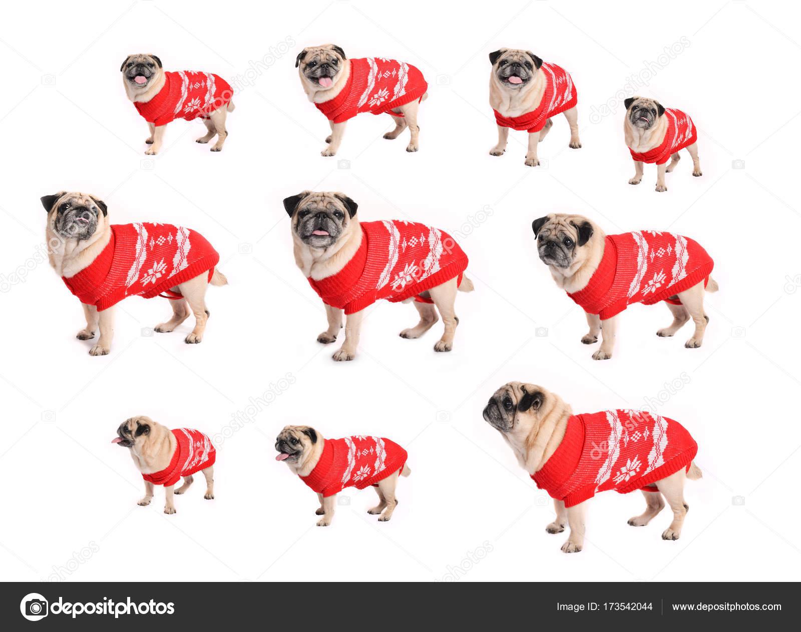 Kersttrui Mopshond.Hond In Een Kerst Trui Nieuwjaar Hond Met Emoties Op Een