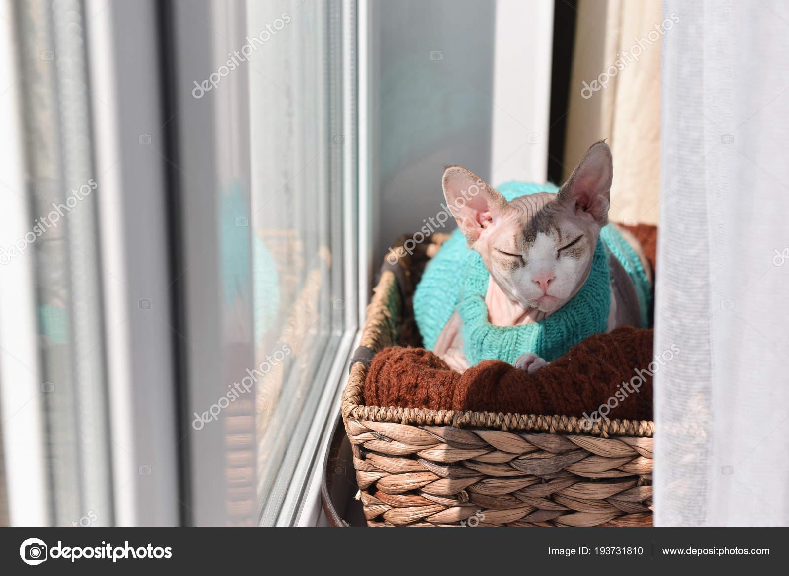 Sphinx Canadien De Chat Dans Un Pull Est Assis Sur Une Fenêtre Dans