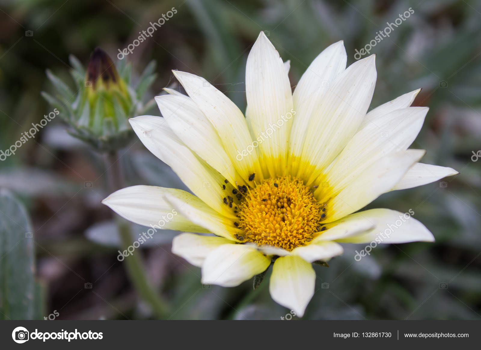Big White Flower On A Background Of Blurred Grass Stock Photo