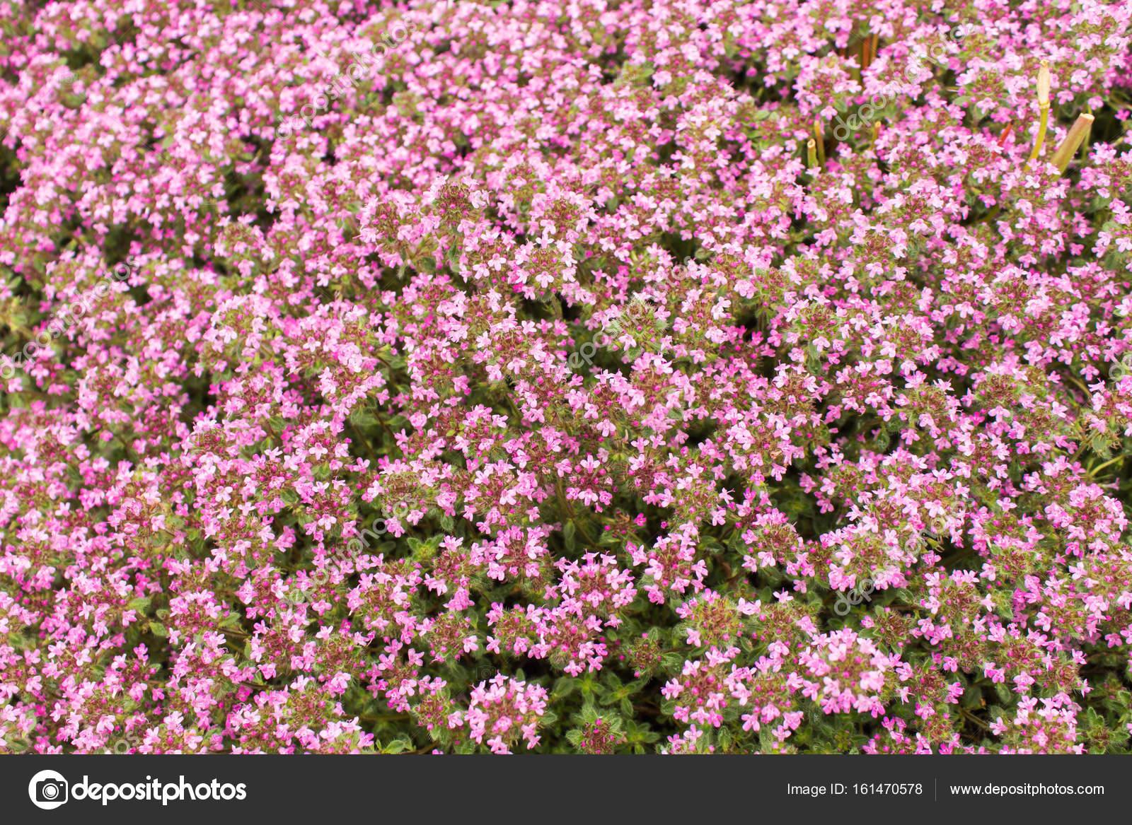 Background Of Very Small Pink Flowers Stock Photo Artverau