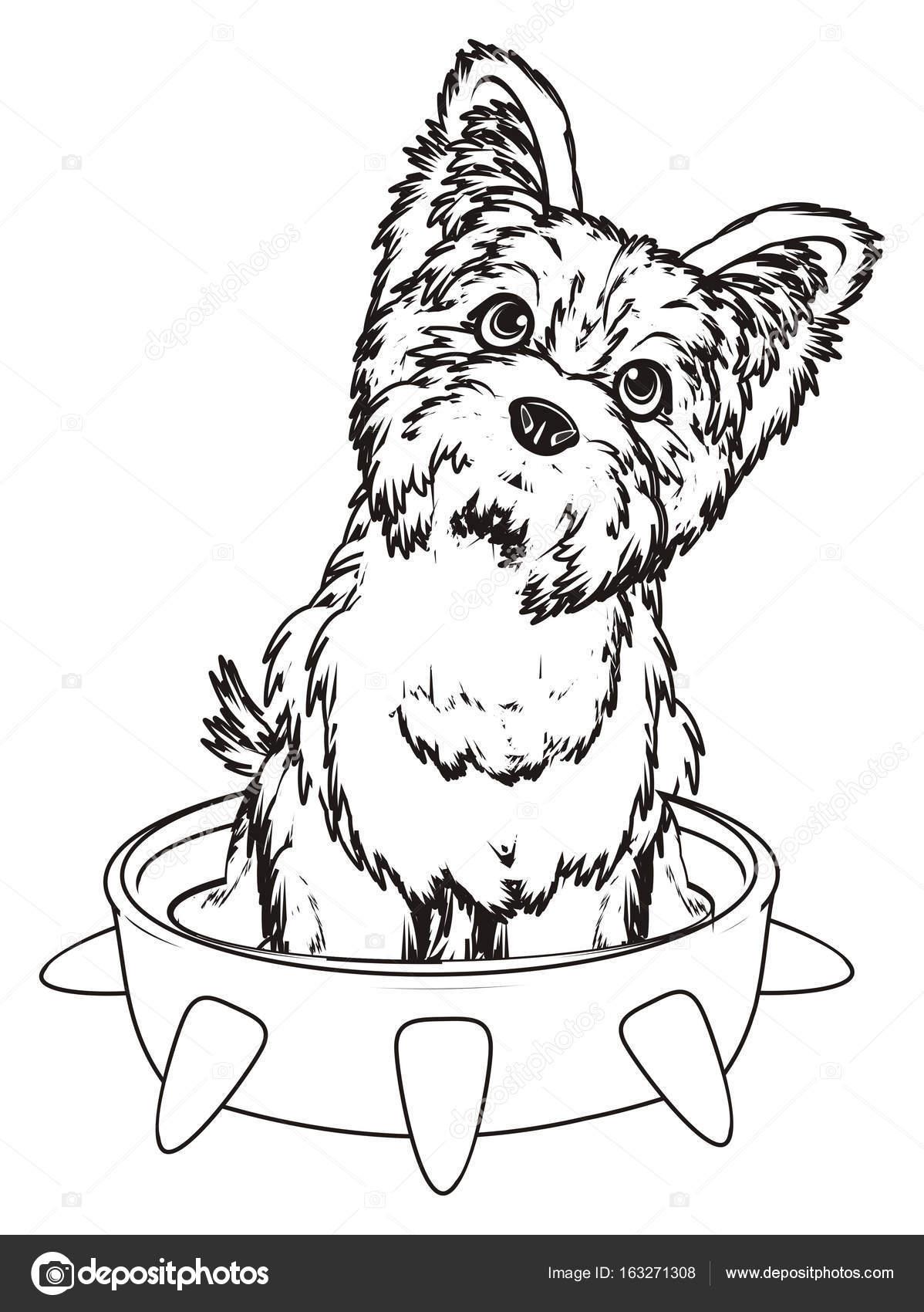 Imágenes Yorkshire Para Colorear Terrier De Yorkshire Para