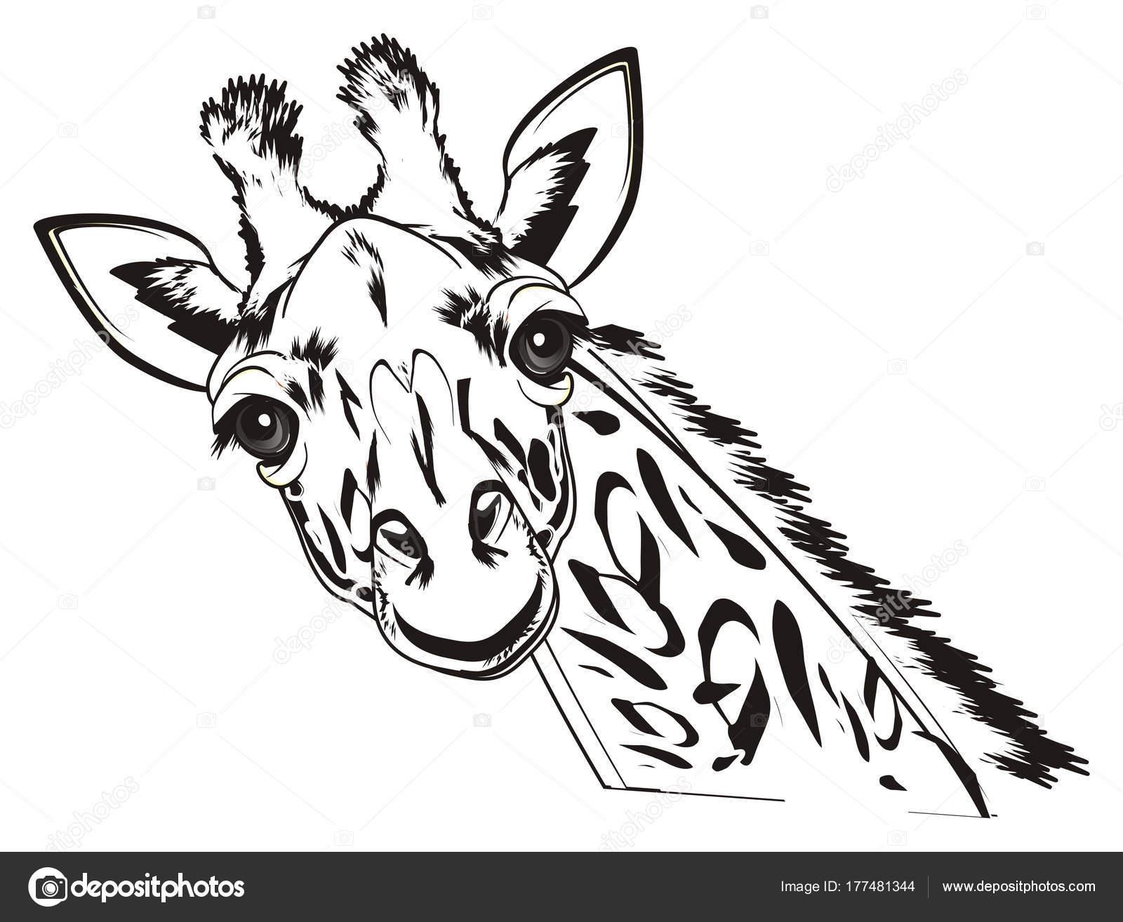 Black White Muzzle Giraffe Stock Photo Tatty77tatty 177481344