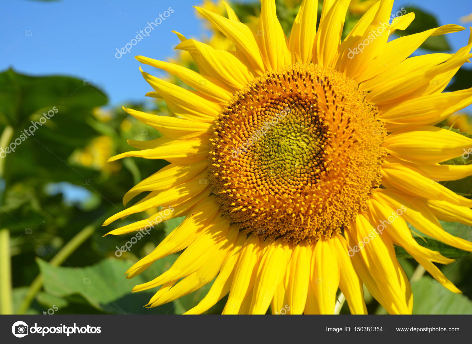 sunflowers field, sunflower photo, sunflower wallpaper. — stock