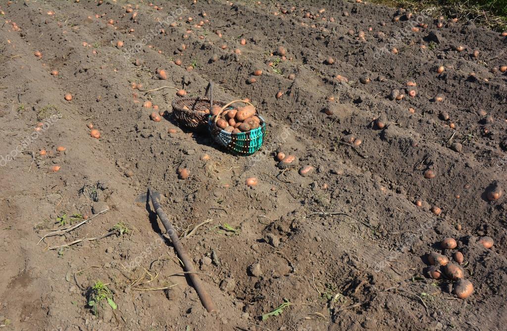 Close up on Harvesting Potatoes