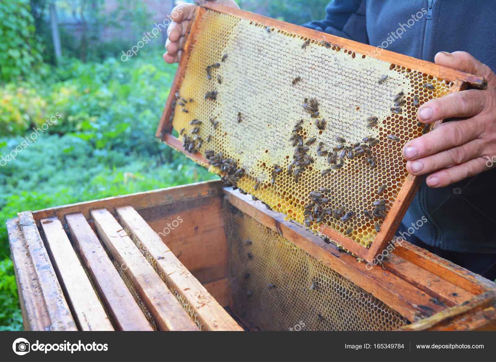 Apicultor con su marco de manos de nido de abeja de colmena con ...