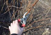 Zahradník, řezání Rubus idaeus nebo červená Malina