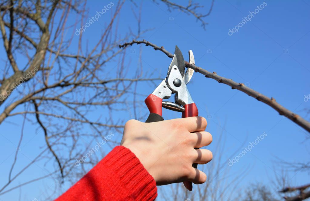 Gardener hand cut tree branch with bypass secateurs, pruning in spring.