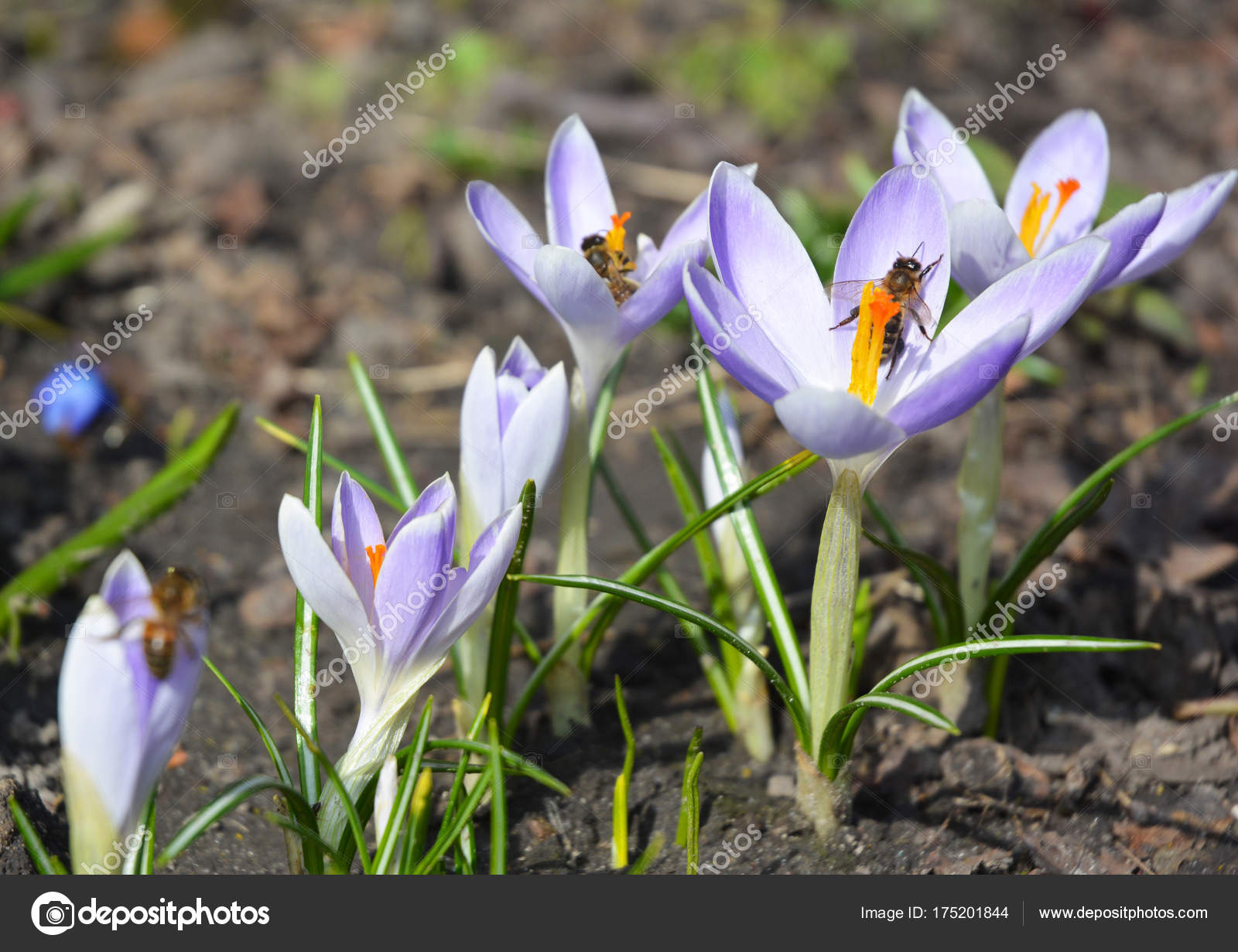 Wild Forest Spring Flowers Purple Crocus Flowers With Honey Bees