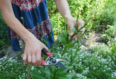 Gardener deadheading and pruning lily flower in summer garden