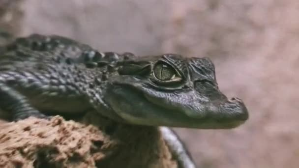 Sankt Petersburg, Russland - 14. Juni 2007: Blick auf grüne Krokodil in transparenten Voliere sitzen. Gefährliches Tier. Predator