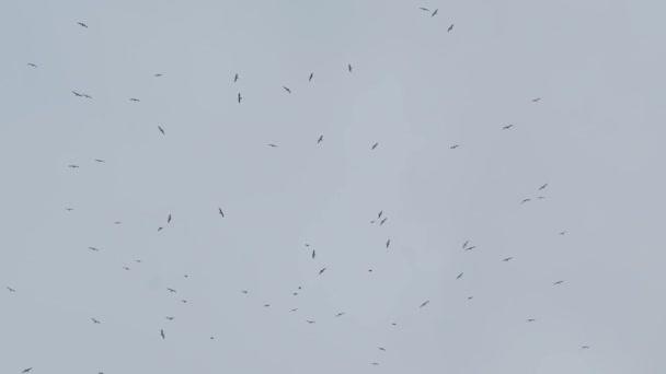 Hejno ptáků létá daleko v šedou oblohou na deštivý den, slowmotion