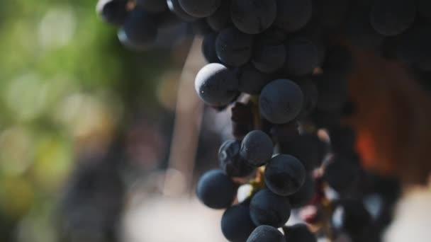 Krásná jemná černá hroznů na stonku na vinici