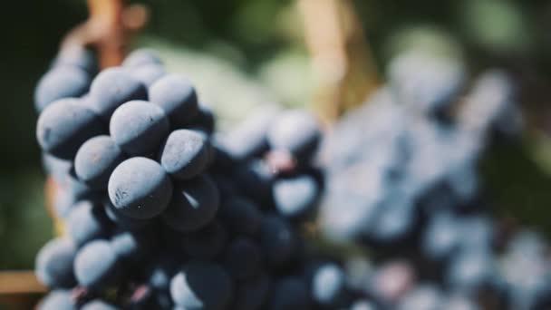 Krásná jemná černá hroznů na větev na Vinarna dvůr