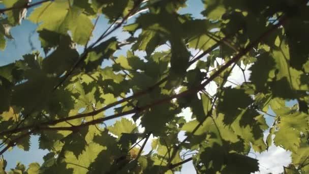 Vinná réva s plody visící na stavebnictví v Vinarna