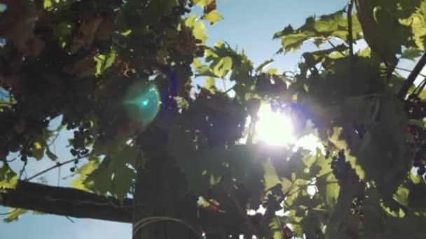 Szőlő gyógynövények bogyókkal lóg alapja a borászat